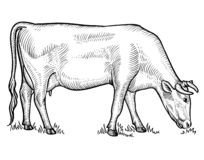 Cow grazing on meadow. Cow in graphical style stock illustration