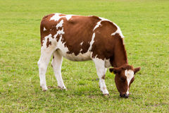 Cow grazing on  meadow dairy product Stock Image