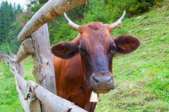 Portrait of a cow near the fence. A cow grazing in a meadow in the mountains near the pine trees Stock Photography