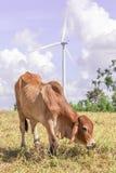 Cow is grazing on meadow near the big windmill in wind farm elec Stock Photo