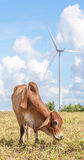Cow grazing on meadow near the big windmill in wind farm electri Royalty Free Stock Image