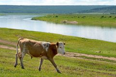 Cow grazing on a meadow next to a river at summer sunny day stock photo