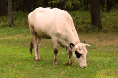 Cow grazing on a meadow Royalty Free Stock Photo