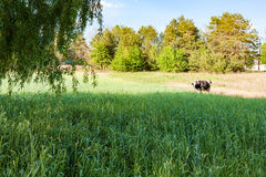 Cow is grazing in meadow Stock Photography