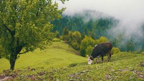 Cow Grazing on a Meadow. Top of Mountain Hill Among the Clouds. Georgia. Beautiful nature. Summer, green grass and trees on the lawn stock video