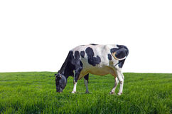 Cow grazing in the meadows Royalty Free Stock Photo