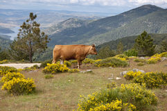 Cow grazing in the mountain Royalty Free Stock Images