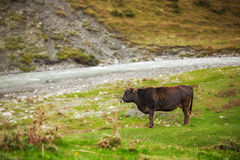 Cow grazing on mountain lawn Royalty Free Stock Photo