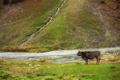 Cow grazing on mountain lawn Royalty Free Stock Images