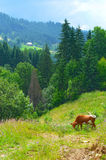 Cow grazing on mountain meadow Stock Images