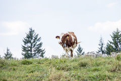 Cow grazing on a mountain pasture Royalty Free Stock Images