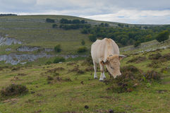 Cow grazing on mountain pastures Royalty Free Stock Photo
