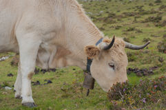 Cow grazing on mountain pastures Stock Photography