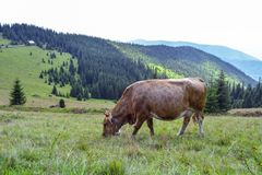 A cow grazing on mountain slopes. The concept of environmentally friendly products. Eco-milk stock photography