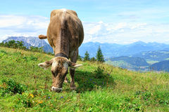Cow grazing Stock Photos