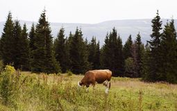 A cow grazing in a mountainous area royalty free stock image