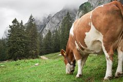 Cow Grazing in the Mountains Royalty Free Stock Photos
