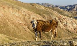 A cow grazing in the mountains Khizi.Azerbaijan Stock Photos