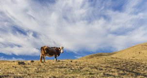 A cow grazing in the mountains Khizi.Azerbaijan Royalty Free Stock Photography