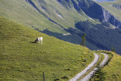 Cow grazing in mountains Royalty Free Stock Photography