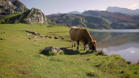 Cow grazing in the mountains stock footage