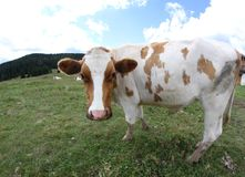 Cow grazing in the mountains and sky with clouds Stock Photos