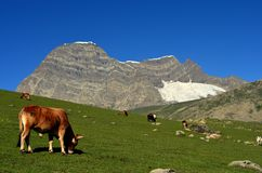 Cow grazing near Beautiful mountains and meadows in Sonamarg, Kashmir, India. Cow grazing near beautiful mountains and glacier landscape in the Kashmir Great stock image