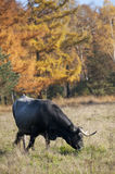 Cow grazing near forest Stock Image