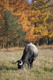 Cow grazing near forest Stock Photo