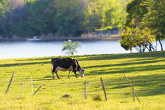 Cow grazing near water. Cow grazing on a pasture near water a summer day Stock Image