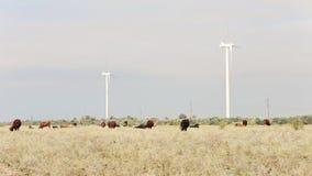 Cow grazing near wind farms stock video footage