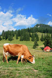 Cow grazing. Before nice landscape Royalty Free Stock Photography