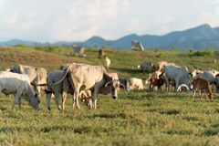 Free Cow Grazing On Farmland. Royalty Free Stock Photography - 45955807