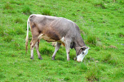 Isolated cow grazing Royalty Free Stock Photos