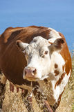 Cow grazing at the pacific ocean Royalty Free Stock Images