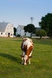 Cow grazing on pasture Stock Photos