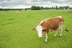 Cow Grazing on Pasture in Southern Bavaria. Royalty Free Stock Image