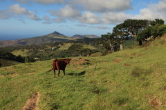 Cow grazing in a pasture on St Helena Island Royalty Free Stock Photo