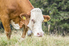 Cow grazing on a pasture with trees on the background Royalty Free Stock Photos