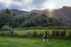 Cow grazing on pasture under the mountains with fairy light stock photography