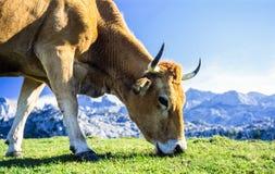 Cow Grazing in Picos de Europa Mountains, Spain Stock Photography