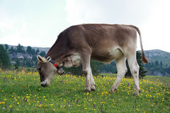 Cow grazing Stock Photography