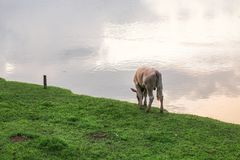 Cow grazing on the riverbank Royalty Free Stock Photography