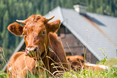 Cow grazing, ruminating on pasture Stock Photography