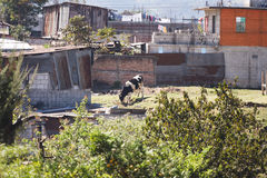 Cow grazing in rural Guatemala. Lone cow grazing near shacks and houses in rural Guatemalan town stock photos