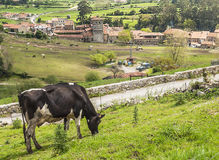 Cow grazing. Of Santillana del mar in Cantabria in the north of spain, you can see  some rural houses in a farm with trees  in a sunny day. In the background Royalty Free Stock Photos