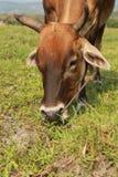 Cow Royalty Free Stock Photos