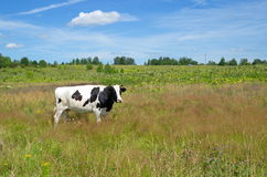Cow grazing in a summer meadow Stock Photo