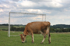 Cow grazing on a summer pasture between football goal Stock Photos