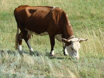 Cow. Grazing in a Sunny meadow,cloven-hoofed domesticated animal Stock Image